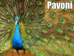 pavoni animale più bello del mondo documentario